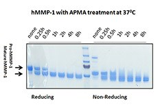 Human MMP-1 (~54 kD) was activated by 1 mM of p-Aminophenylmercuric acetate (APMA) at different time points at 37°C. After 1 h of activation, the mature form hMMP-1 (~45 kD) could be readily observed. Samples at reducing and non-reducing condition were resolved in a SDS-PAGE. Molecular weight markers at 250, 150, 100, 70, 55 kD were labeled here. Protein per lane: 2.5 µg