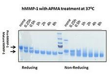 MMP1 Protein - Human MMP-1 (~54 kD) was activated by 1 mM of p-Aminophenylmercuric acetate (APMA) at different time points at 37°C. After 1 h of activation, the mature form hMMP-1 (~45 kD) could be readily observed. Samples at reducing and non-reducing condition were resolved in a SDS-PAGE. Molecular weight markers at 250, 150, 100, 70, 55 kD were labeled here. Protein per lane: 2.5 µg
