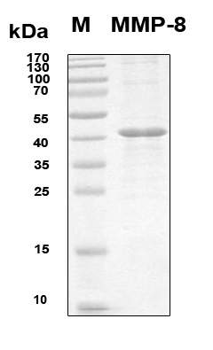 MMP8 Protein