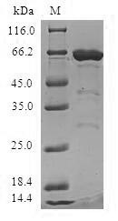 MRPS6 / MRP S6 Protein - (Tris-Glycine gel) Discontinuous SDS-PAGE (reduced) with 5% enrichment gel and 15% separation gel.