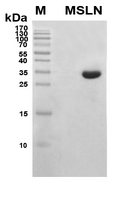 MSLN / Mesothelin Protein