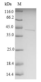 MTX2 Protein - (Tris-Glycine gel) Discontinuous SDS-PAGE (reduced) with 5% enrichment gel and 15% separation gel.