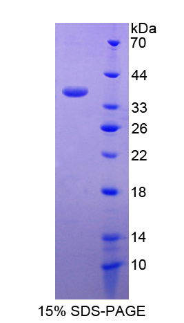 MUCL1 Protein - Recombinant  Small Breast Epithelial Mucin By SDS-PAGE