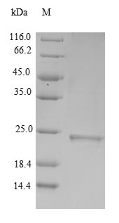 MUT / MCM Protein - (Tris-Glycine gel) Discontinuous SDS-PAGE (reduced) with 5% enrichment gel and 15% separation gel.
