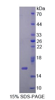 MYCBP Protein - Recombinant  C-Myc Binding Protein By SDS-PAGE