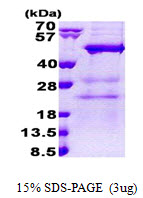 NAA30 Protein