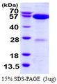 NAE1 / APPBP1 Protein