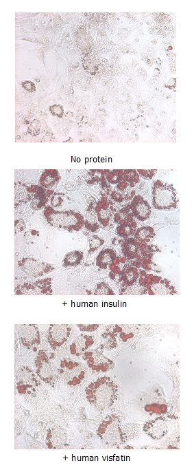 NAMPT / Visfatin Protein - Insulin-mimetic effects on stimulated differentiating 3T3-L1 cells. 10 ug/ml iNampt (human) (rec.) (His) or human insulin was added to differentiating 3T3-L1 cells that had been stimulated with 1 uM dexamethasone and 0.5mM IBMX for 2 days. After 5 days, fat droplets were stained with Oil-Red O.