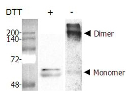NAMPT / Visfatin Protein - Dimer formation of recombinant Nampt (Visfatin, PBEF) (AG-40A-0018). Purified Nampt (Visfatin, PBEF) was separated by SDS-PAGE and Western blot analysis was performed using rabbit anti-Nampt polyclonal antibody (AG-25A-0025). In the absence of DTT, Nampt (visfatin, PBEF) formed a homodimer, a homomultimer.