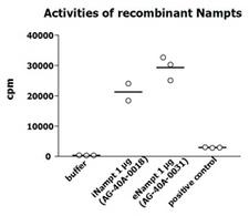 NAMPT / Visfatin Protein - Measurement of NAMPT enzymatic activity was performed as described previously [G.C. Elliott, et al.; Anal Biochem 107, 199 (1980)]. The recombinant Nampt was diluted in assay buffer and 10 ul per 50 ul reaction mix were applied in the reaction mix (20 mmol/l Tris-HCl pH 7.4; 2,5 mmol/l ATP; 50 mmol/l NaCl; 12,5 mmol/l MgCl2; 2 mmol/l DTT; 0,5 mmol/l PRPP; 5 uMol/l 14C-nicotinamide) and incubated at 37°C for 1h. The 50 ul reaction mix was transferred into tubes containing 2ml of acetone and afterwards pipetted onto acetone-presoaked glass microfibre filters (GF/A 24 mm). After rinsing with 2 x 1ml acetone, filters were dried, transferred into vials with 6ml scintillation cocktail and radioactivity of 14C-NMN was quantified in a liquid scintillation counter. After subtraction of buffer values as background, cpm were normalized to 10^6 cells and the volume of enzyme preparation (10 ul). Mouse liver lysate at a concentration of 34.5 ug/ml was used as positive control in each assay. The positive control is mouse liver lysate at a concentration of 34,5 ug/ml - normally, which brings the most counts per minute (cpm) (contributed by Antje Garten and Dr. Kiess, University of Leipzig, Germany).