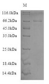 NF-L / NEFL Protein - (Tris-Glycine gel) Discontinuous SDS-PAGE (reduced) with 5% enrichment gel and 15% separation gel.