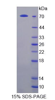 NKRF / NRF Protein - Recombinant  NFKB Repressing Factor By SDS-PAGE