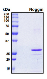 NOG / Noggin Protein - SDS-PAGE under reducing conditions and visualized by Coomassie blue staining