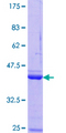 NPM3 Protein - 12.5% SDS-PAGE Stained with Coomassie Blue.