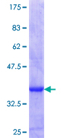 NR2F1 / Coup-TF Protein - 12.5% SDS-PAGE Stained with Coomassie Blue.