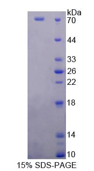 NSMAF Protein - Recombinant  Neutral Sphingomyelinase Activation Associated Factor By SDS-PAGE