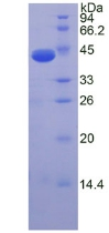 NT-proANP Protein - Recombinant  N-Terminal Pro-Atrial Natriuretic Peptide By SDS-PAGE