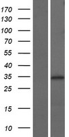 NTHL1 Protein - Western validation with an anti-DDK antibody * L: Control HEK293 lysate R: Over-expression lysate