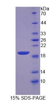 NUDC Protein - Recombinant  Nuclear Distribution Gene C Homolog By SDS-PAGE
