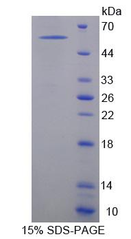 NXPH1 Protein - Recombinant  Neurexophilin 1 By SDS-PAGE