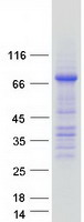 OCLN / Occludin Protein - Purified recombinant protein OCLN was analyzed by SDS-PAGE gel and Coomassie Blue Staining