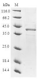 ODC1 / Ornithine Decarboxylase Protein - (Tris-Glycine gel) Discontinuous SDS-PAGE (reduced) with 5% enrichment gel and 15% separation gel.