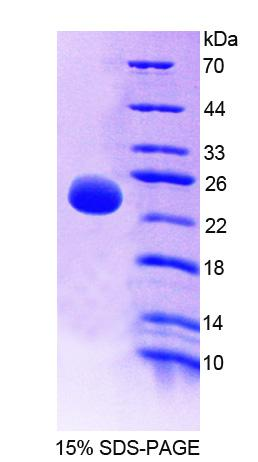 OPTIMEDIN / OLFM3 Protein - Recombinant Olfactomedin 3 By SDS-PAGE