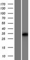 OR10V1 Protein - Western validation with an anti-DDK antibody * L: Control HEK293 lysate R: Over-expression lysate