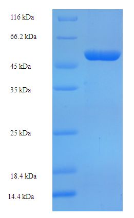 OXNAD1 Protein