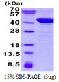 P40PHOX / NCF4 Protein