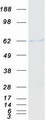 p58 / PSMD3 Protein - Purified recombinant protein PSMD3 was analyzed by SDS-PAGE gel and Coomassie Blue Staining