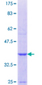 PADI3 Protein - 12.5% SDS-PAGE Stained with Coomassie Blue.