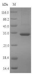 PDXP / Pyridoxal Phosphatase Protein - (Tris-Glycine gel) Discontinuous SDS-PAGE (reduced) with 5% enrichment gel and 15% separation gel.
