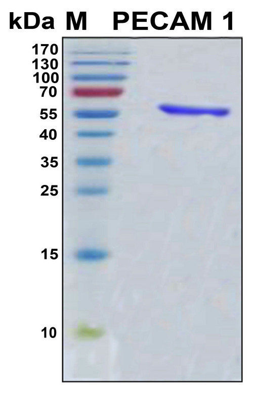 PECAM-1 / CD31 Protein - SDS-PAGE under reducing conditions and visualized by Coomassie blue staining