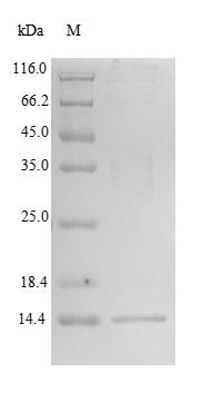 PH / PAH Protein - (Tris-Glycine gel) Discontinuous SDS-PAGE (reduced) with 5% enrichment gel and 15% separation gel.