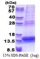 PLAC8 Protein