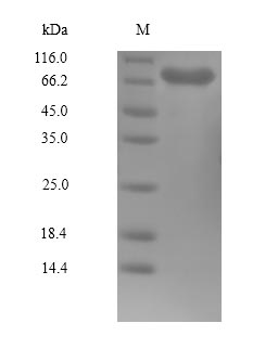 PLK1 / PLK-1 Protein - (Tris-Glycine gel) Discontinuous SDS-PAGE (reduced) with 5% enrichment gel and 15% separation gel.