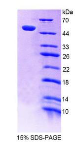POLD1 Protein - Recombinant Polymerase DNA Directed Delta 1 By SDS-PAGE