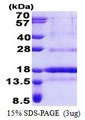 POLD4 Protein