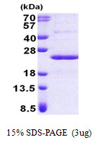 PPP1R11 Protein