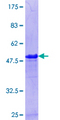 PPP1R7 Protein - 12.5% SDS-PAGE Stained with Coomassie Blue