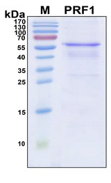 PRF1 / Perforin Protein - SDS-PAGE under reducing conditions and visualized by Coomassie blue staining