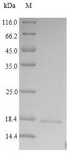 PRG2 / Proteoglycan 2 Protein - (Tris-Glycine gel) Discontinuous SDS-PAGE (reduced) with 5% enrichment gel and 15% separation gel.