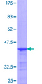 PRLR / Prolactin Receptor Protein - 12.5% SDS-PAGE Stained with Coomassie Blue.