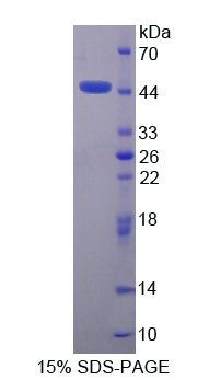PRM2 / Protamine 2 Protein - Recombinant  Protamine 2 By SDS-PAGE