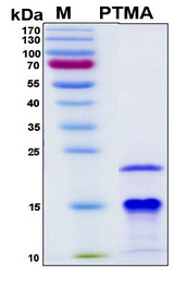 PTMA / Prothymosin Alplha Protein - SDS-PAGE under reducing conditions and visualized by Coomassie blue staining