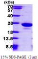 PTP4A1 / PRL-1 Protein