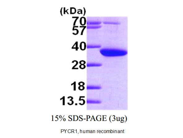 PYCR1 Protein