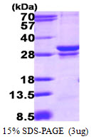 RAB23 Protein