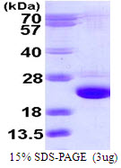 RAB24 Protein
